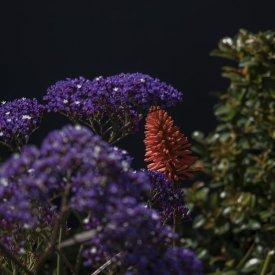 limonium sea lavender kniphofia