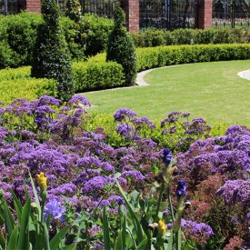 formal flowering turf iris hedge